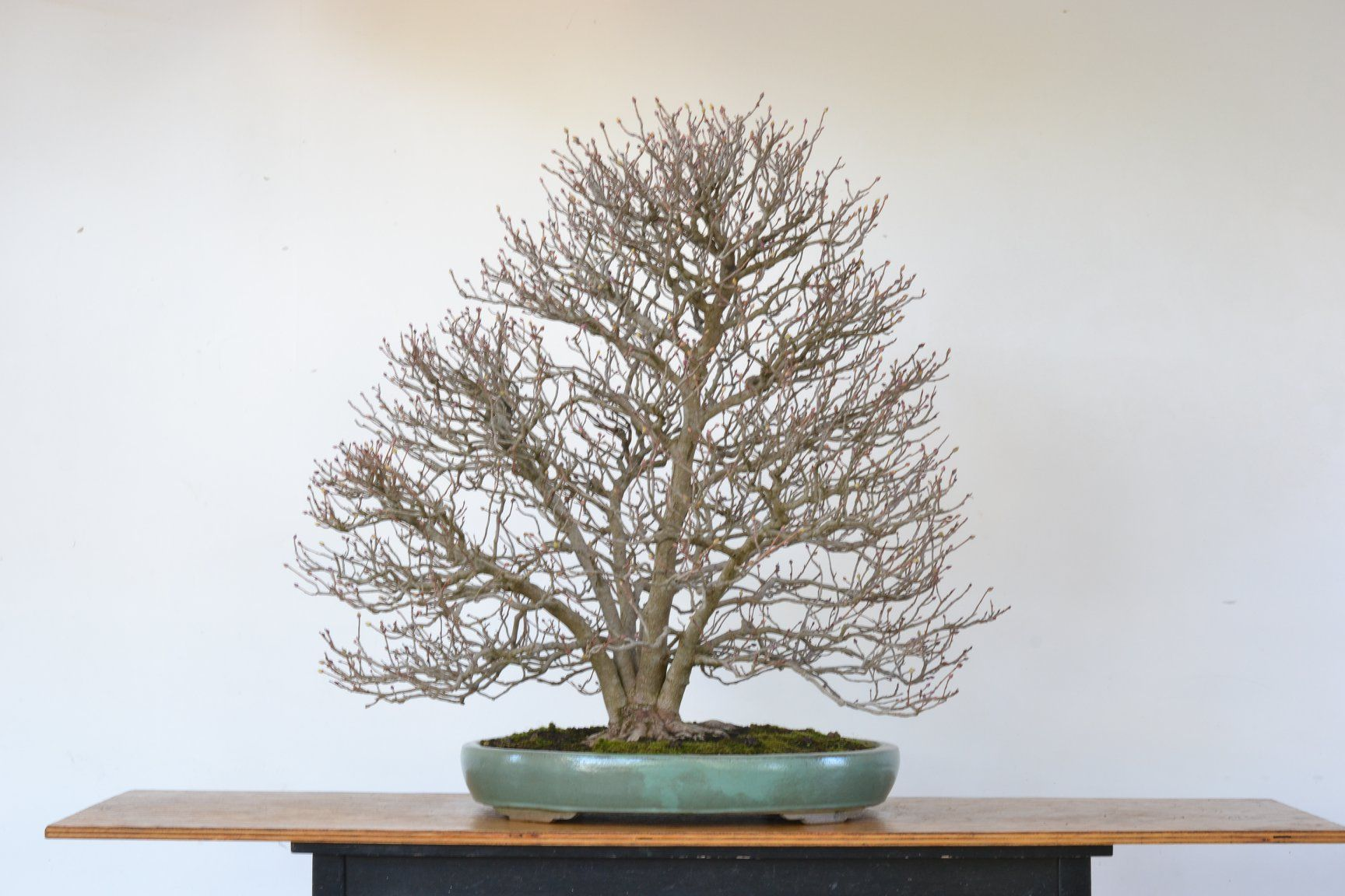 Winter Hazel, just repotted, by Andrew Robson. bonsai 盆栽