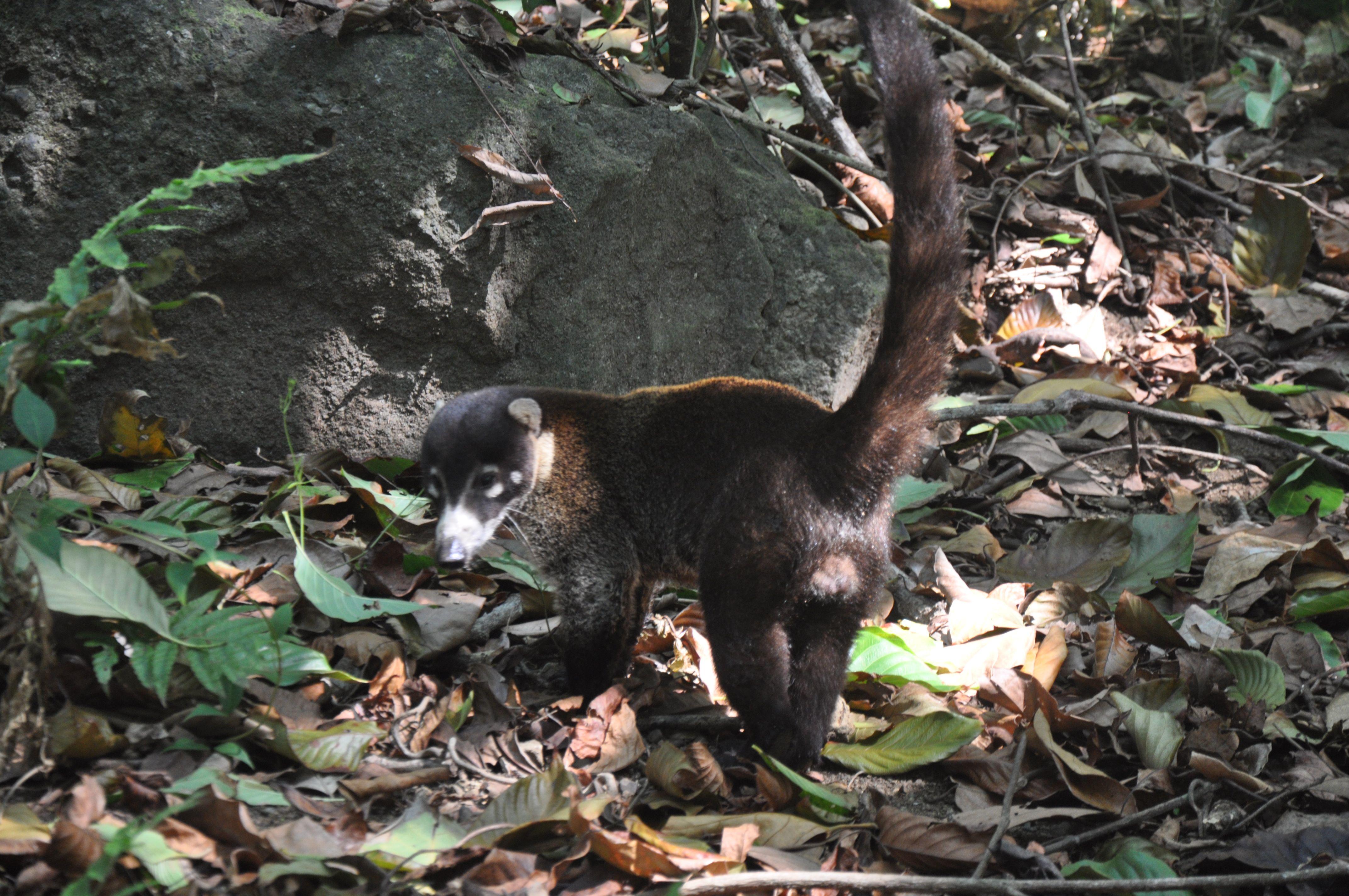 Nosebear in Corcovado National Park, La Leona Eco Lodge, Osa Peninsula, Costa Rica, 2016, HR.