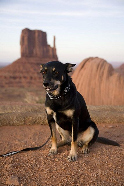 Tess Australian Kelpie Dogs Pet Dogs