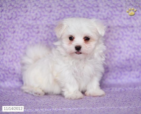 Monica Maltese Puppy For Sale In Gap Pa Maltese Puppy For
