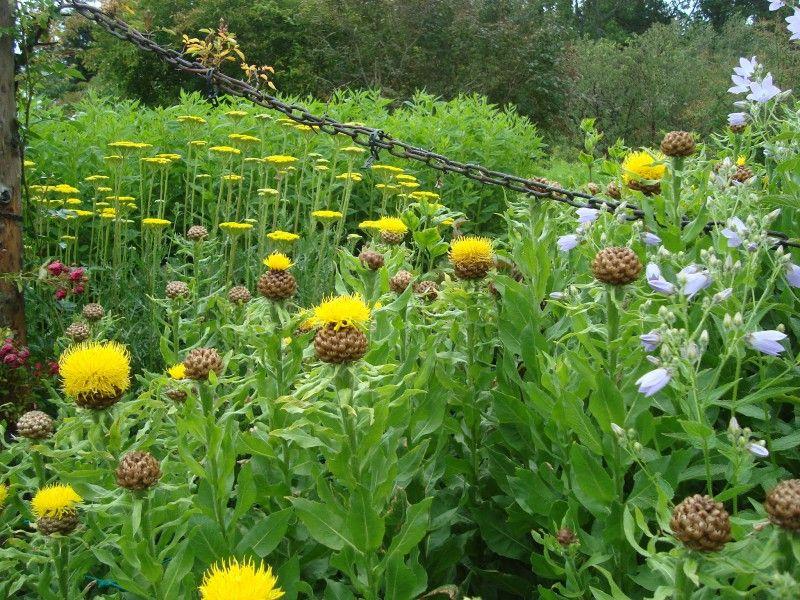 Centaurea Macrocephala Perennial Garden Plants Perennials