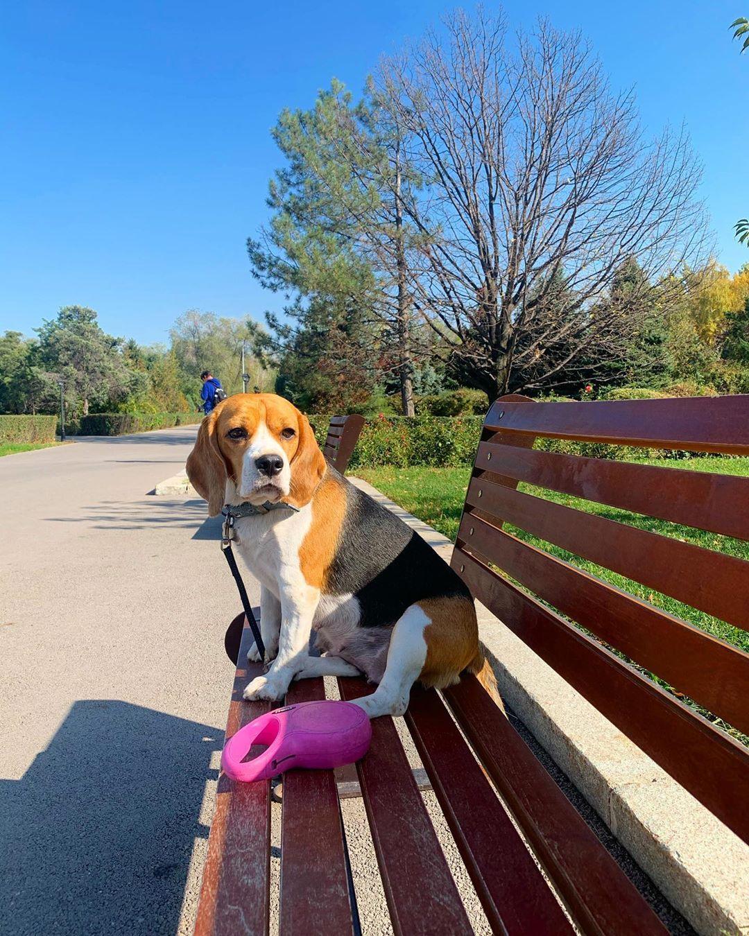 Любовка моя #photooftheday #pickoftheday #бигльщенки #beagleworld #beaglepuppies #beagle #beagles #beaglepuppies #...