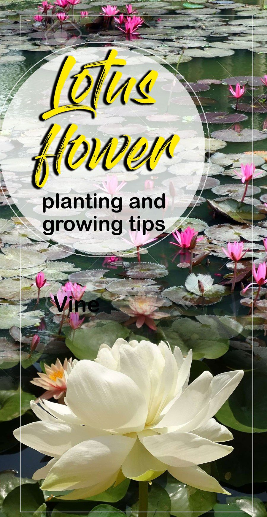 Lotus flower planting and growing tips water gardening pinterest lotus flower planting and growing tips health benefits of lotus naturebring izmirmasajfo