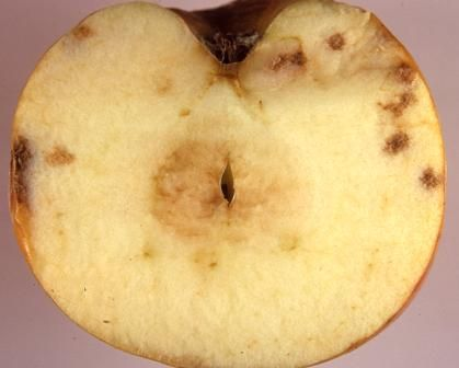 Apple bitter pit caused by calcium deficiency. | Plant Nutrient ...
