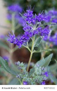 blaue blumen setzen stets besondere akzente im heimischen garten ... - Garten Blumen Blau