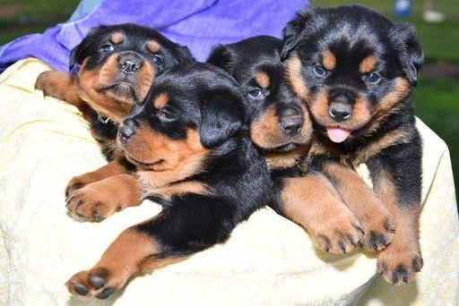Litter Of 4 Rottweiler Puppies For Sale In Quarryville Pa Adn 27633 On Puppyfinder Com Gender