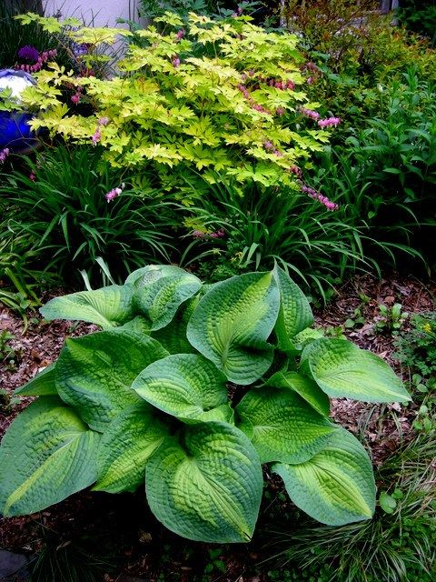 Hosta Brother Stefan Seems To Like Sun Too Here It Faces