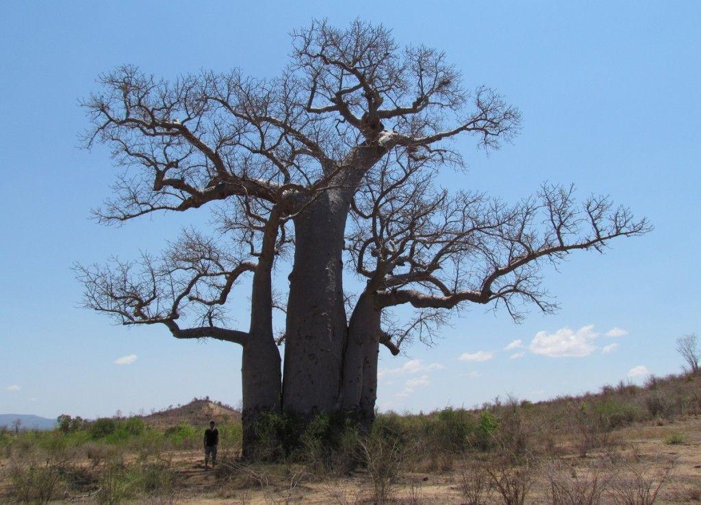 Baobab... C'est pas la taille qui compte! www.lemury.net