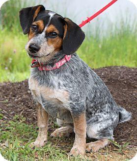 Staunton Va Australian Cattle Dog Beagle Mix Meet Ellie May A