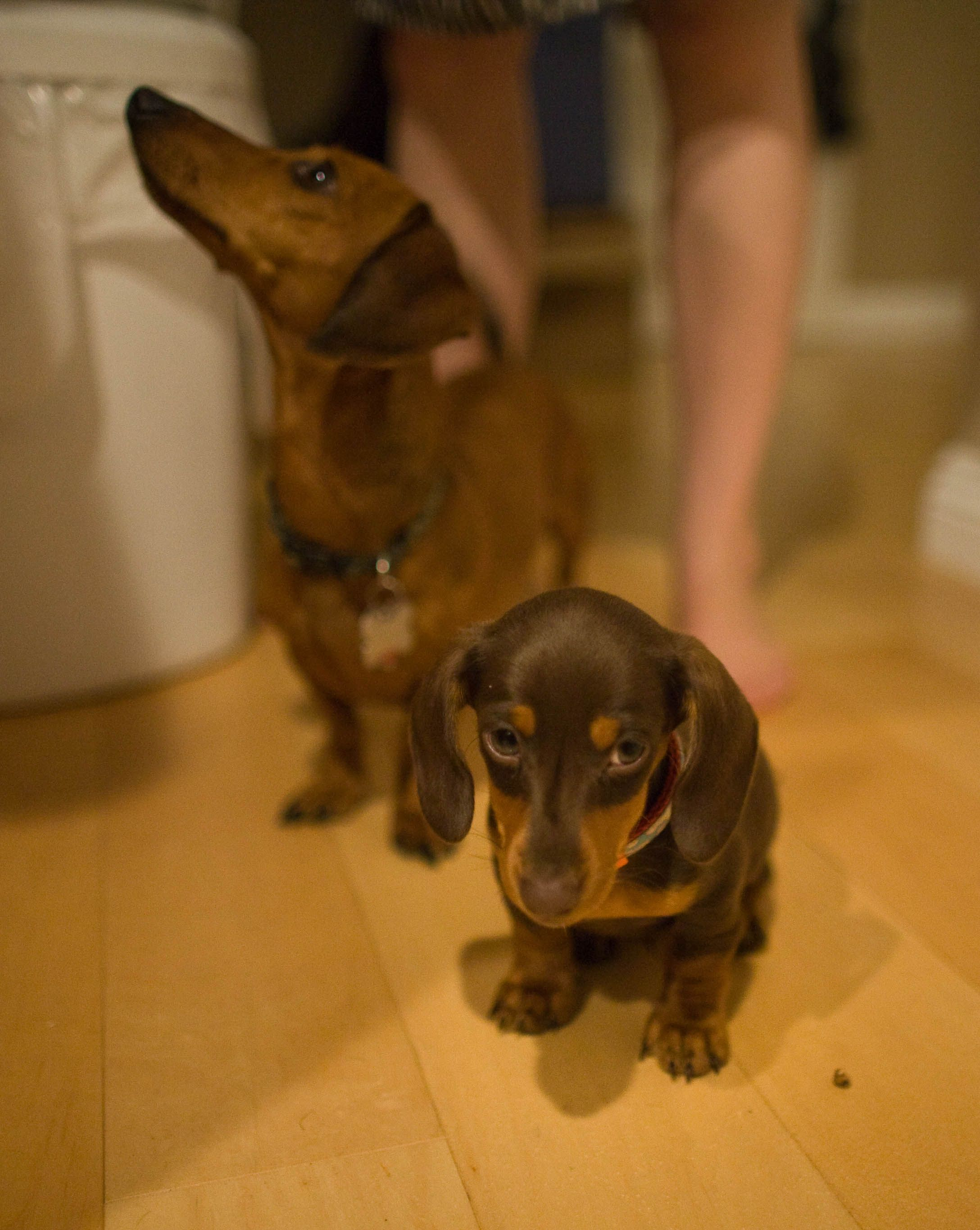 Mr Noodle Does Not Want To Play Anymore Dachshund Love Weenie