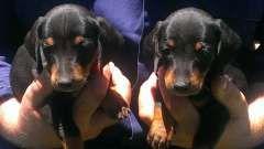 Standard Smooth Dachshunds Puppies For Sale Jondaryan Queensland