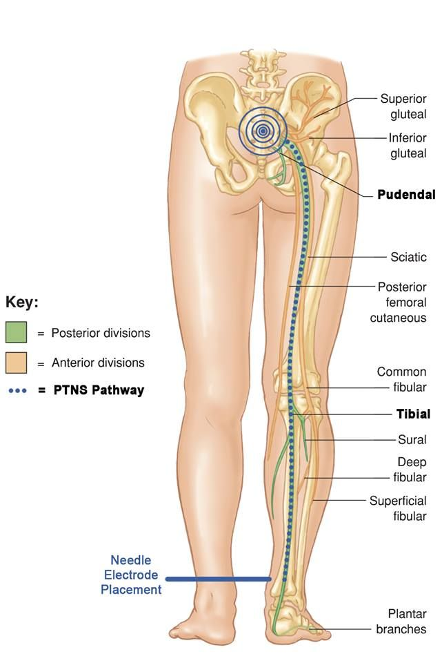 How Does Urgent Pc Work This Illustration Shows The Tibial Nerve