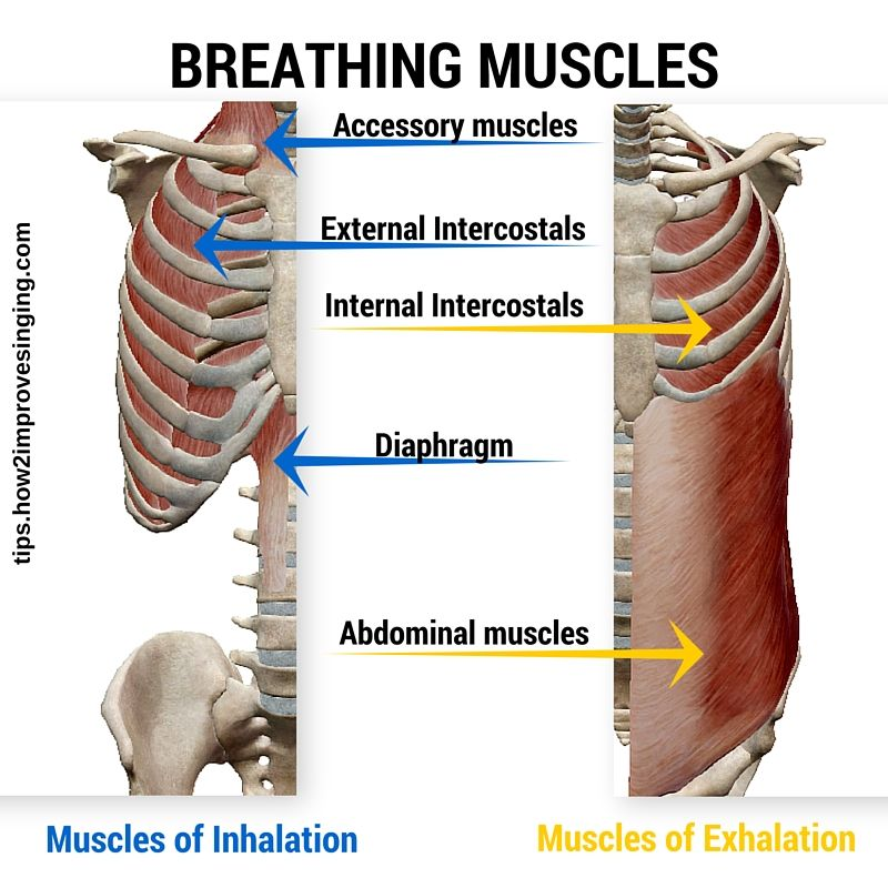 Anatomy of Breathing for Singers Made Easy | Muscles and Anatomy