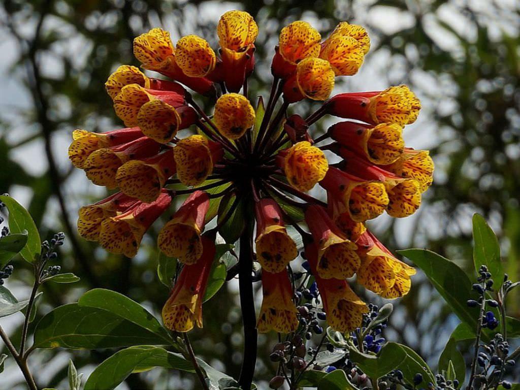 Bomarea Glaucescens Is A Tropicals Tender Perennial Vine Growing