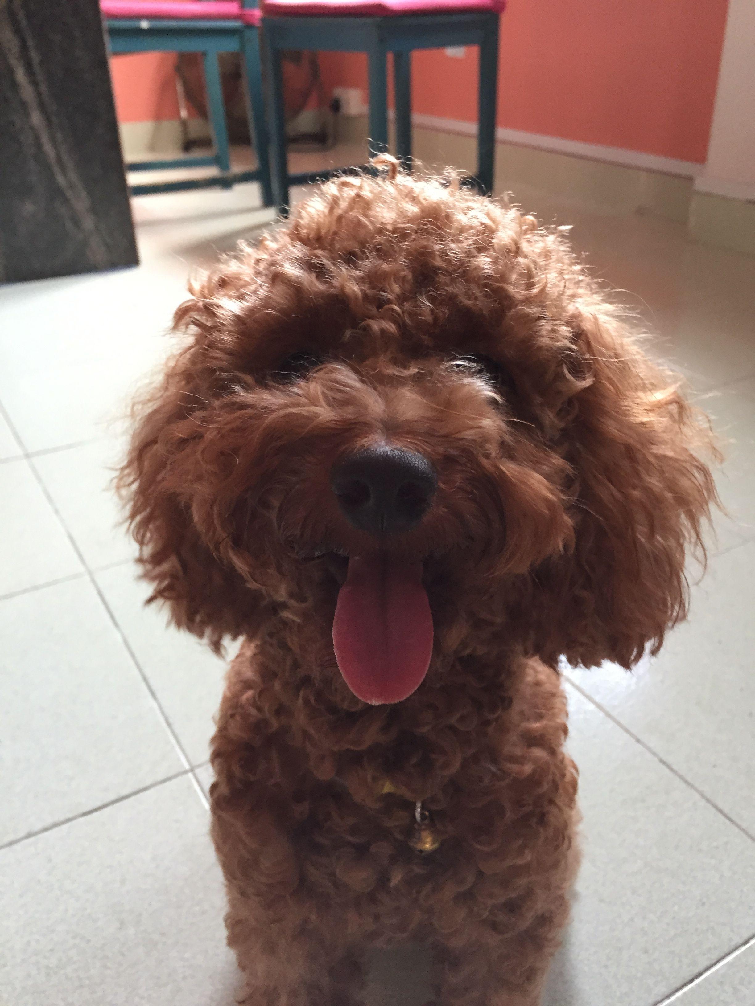 Cookie Toy Poodle Pawshake Singapore