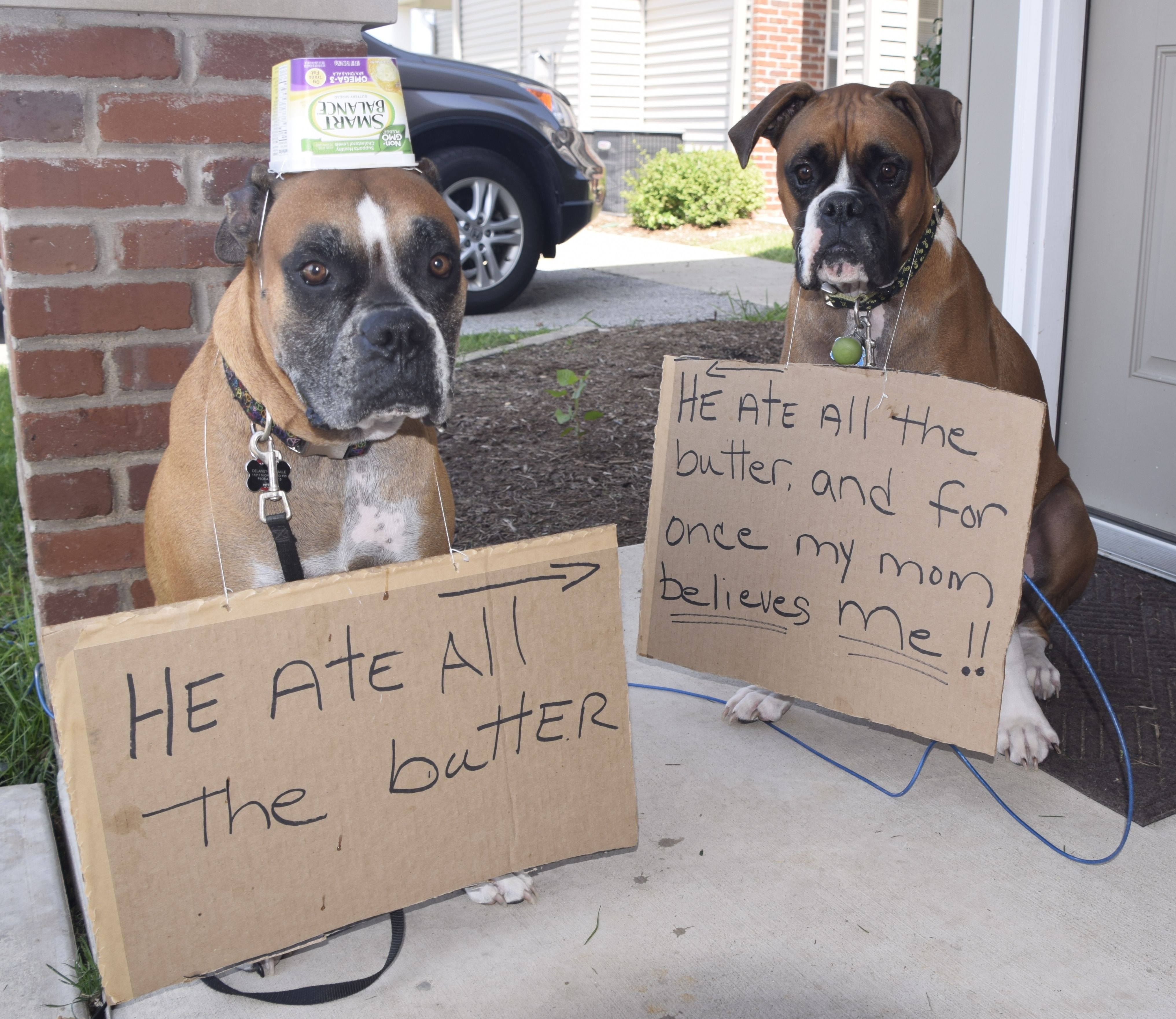 sibling rivalry !! A community of Boxer lovers! Dog