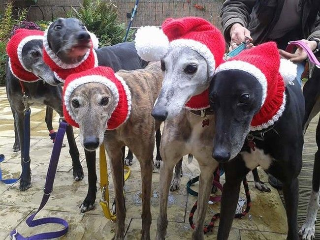 Greyhounds Christmas Hats Jan Brown Greyhounds Clothes Greyhound Rescue Dogs