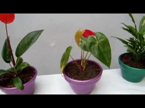 C mo cultivar anturios tvagro por juan gonzalo angel for Vivero de plantas exoticas