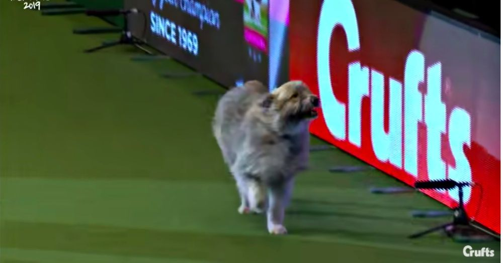 Rescue Dog Wins Hearts But Not Ribbons On Hilarious Agility