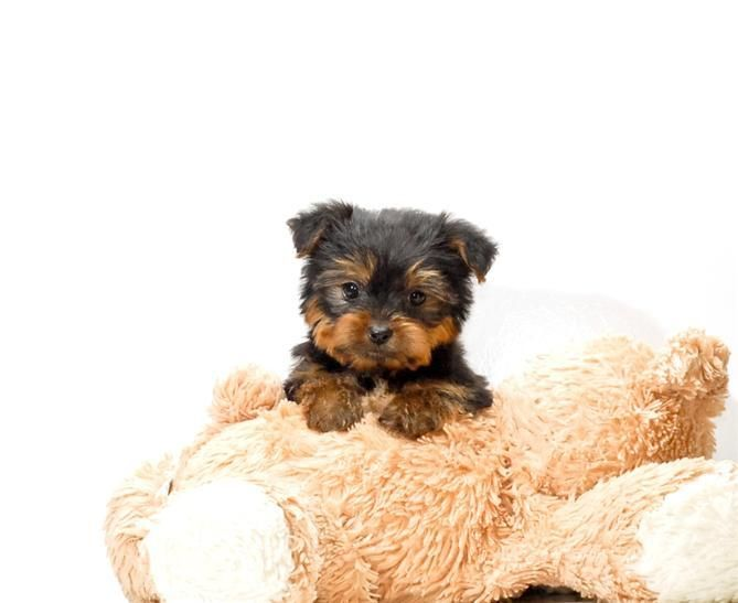 Teacup Jeremy Is One Of Our Yorkie Puppies For Sale Near Toledo