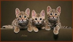 Bengal Cats For Sale Buy A Bengal Cat Bengal Kitten Pricing