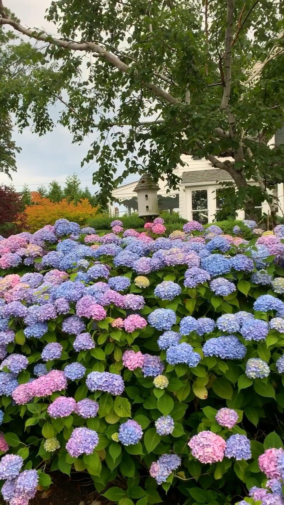 10 Hydrangea Tips Tricks Trivia Shorelines Illustrated Havedesign Hydrangea Cottage Garden Design Beautiful Gardens Landscape Design