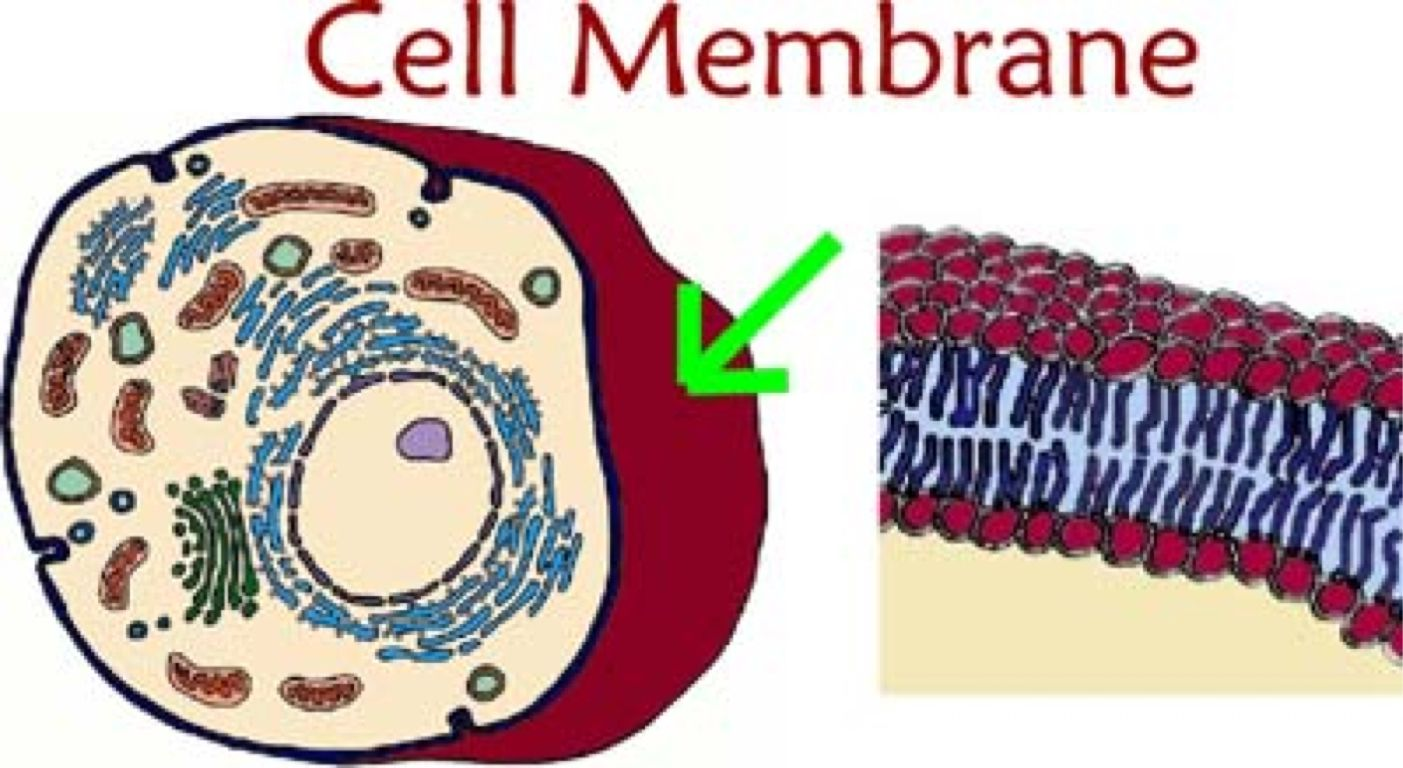 The outermost layer in an animal cell is known as the Cell