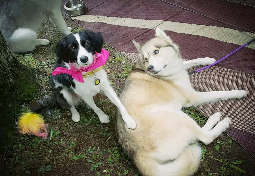 Caption this!  Banana is hanging out with Shelby from @gonetothesnowdogs #dogs #cute #adorable #dogs_of_instagram #dogsofig #bordercollie #bordercolliesofinstagram #bordercolliemix #bananathebc #siberianhusky #husky #huskygram #huskiesofinstagram #gonetothesnowdogs #gttsd #snowdog #pawdience #creativepetkeeping #cutedogs