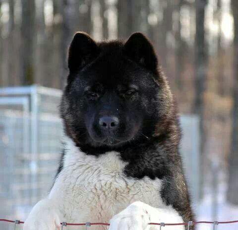 Big Bear Head Akita Dog Akita Puppies Animals
