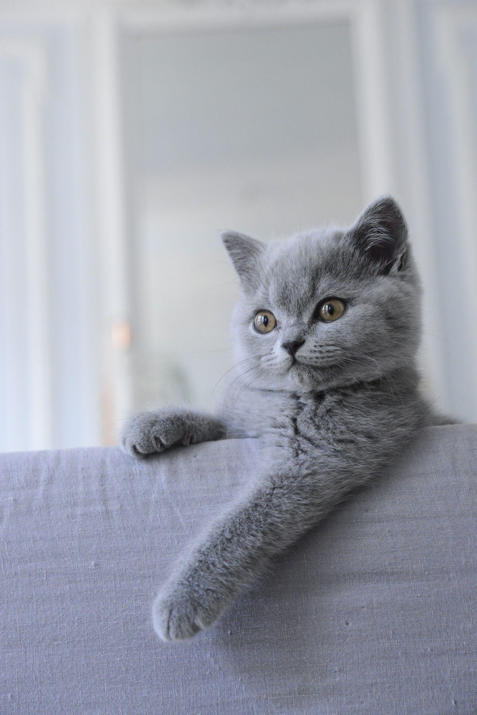 Mon British Shorthair British Shorthair Kittens British Shorthair Cats