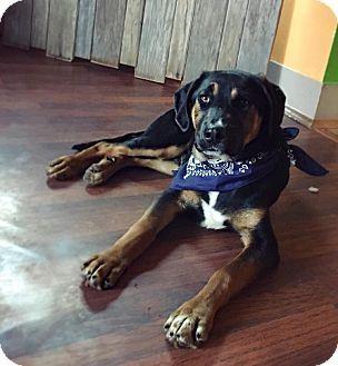 Tracy Ca Rottweiler German Shepherd Dog Mix Meet Forrest A