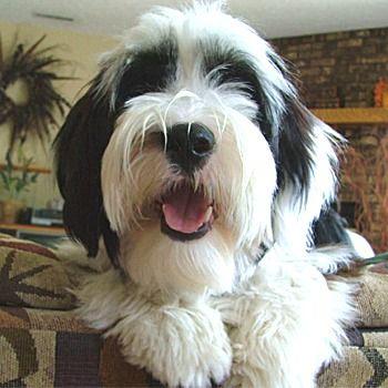 Tibetan Terrier Photos Pictures Tibetan Terriers Tibetan Terrier Terrier Cute Dogs
