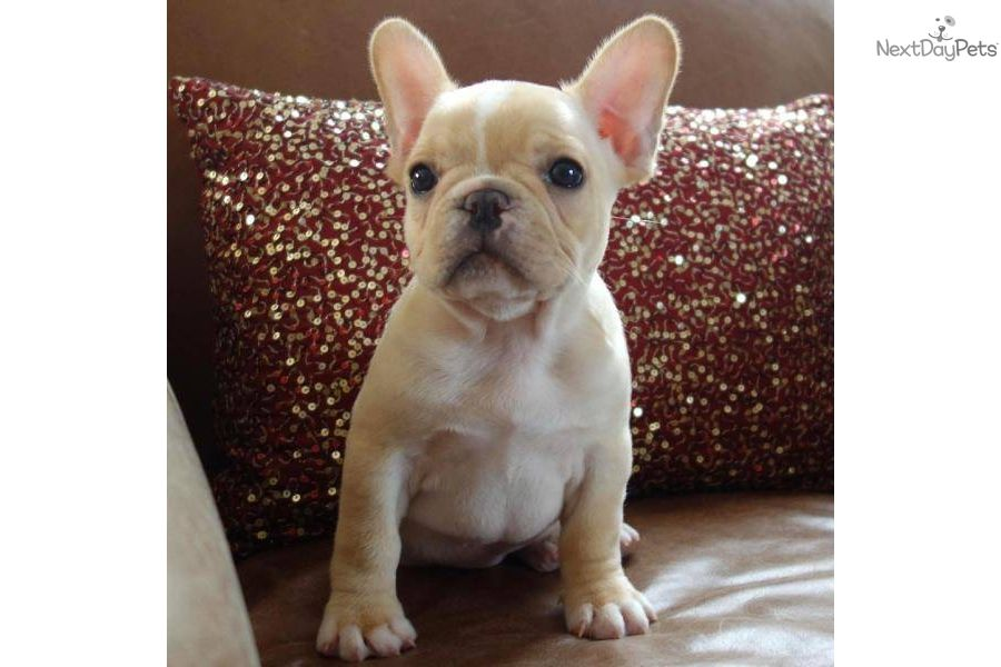 Cute Puppy Meet Www Poeticfrenchbulldogs Com A Cute French