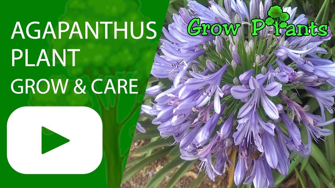 Agapanthus Plant Growing And Care Plant Information Climate Hardiness Zone Uses Growth Speed Water Req Agapanthus Plant Agapanthus Easy Plants To Grow