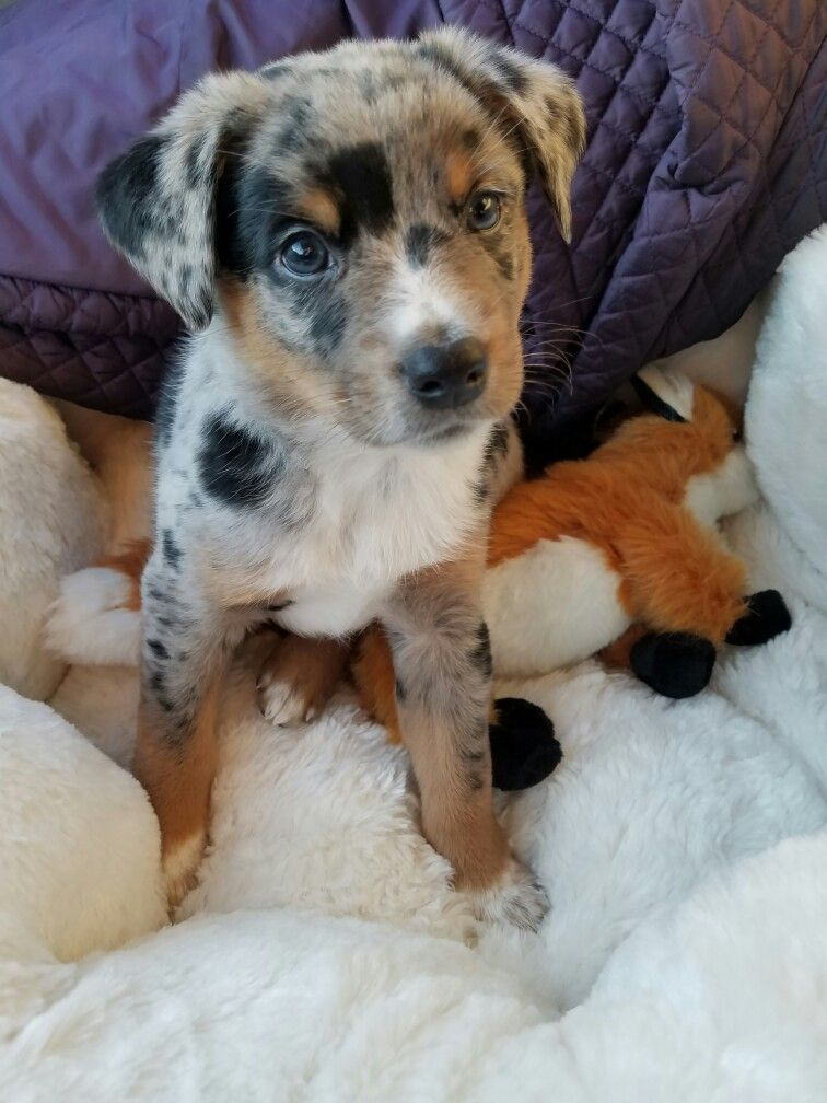 Oshie My 6 Week Old Texas Heeler Baby Blueheeler Cattledog