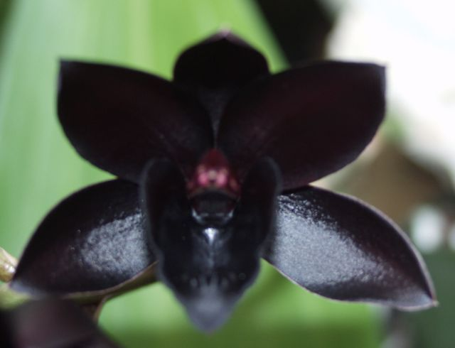 The Rare Black Orchid Found In The Tropical Forests Of East Kalimantan Indonesia Black Orchid Orchids Nothing But Flowers