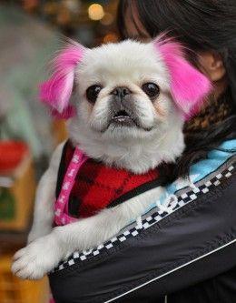 How To Dye A Dog S Hair At Home Using Kool Aid Dog Dye Dog Hair