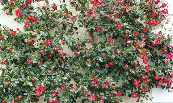 Camellia Trained Flat Against A Wall Sasanqua Camellias Are Particularly Good For This Camellia Plant Front Yard Plants Camellia Tree