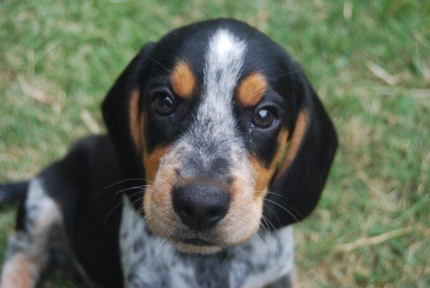 My Boyfriend S Bluetick Coonhound Beagle Mix As A Puppy