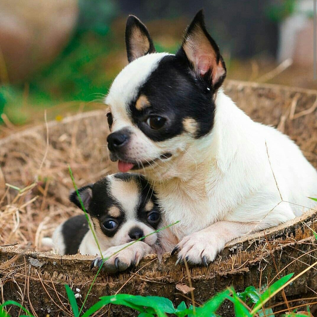 Mother Daughter Chihuahua Baby Dogs Super Cute Animals