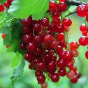 Johannisbeere Versaillaise Rouge (Pflanze)  Ribes rubrum Gehört auch in die Gruppe der Kirschjohannisbeeren. Sie wurde 1835 im Schlossgarten von Versailles/Frankreich gezüchtet. Die Beeren sind wegen ihrer milden Säure und ihres Aromas vor allem für den Frischgenuss direkt vom Strauch geeignet. Die Beerenhaut ist dünn, die Farbe ist ein tiefes dunkelrot.
