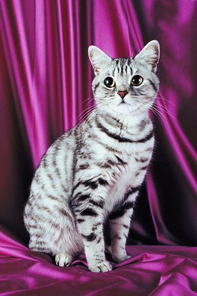 Information On Silver Tabby American Shorthair Cats American Shorthair Cat Silver Tabby Cat British Shorthair Cats