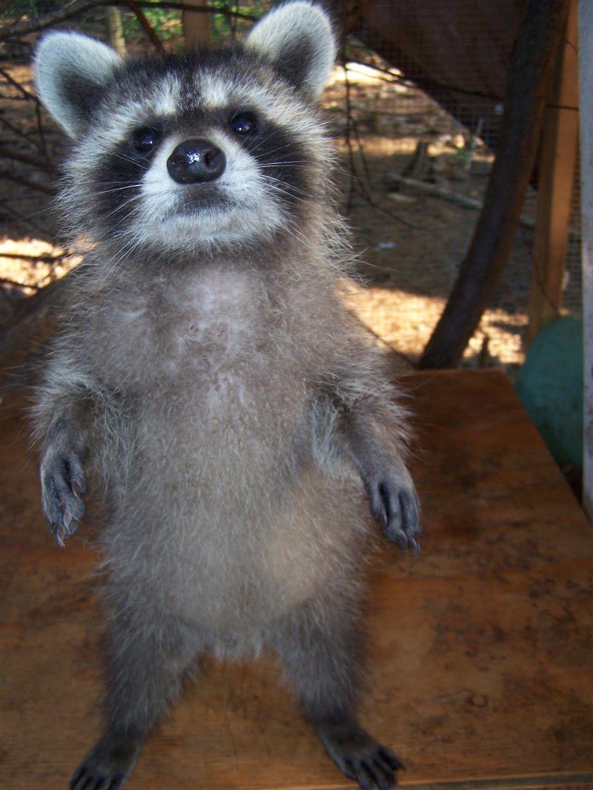 Dancing babies! Cute animals, Cute raccoon, Animals