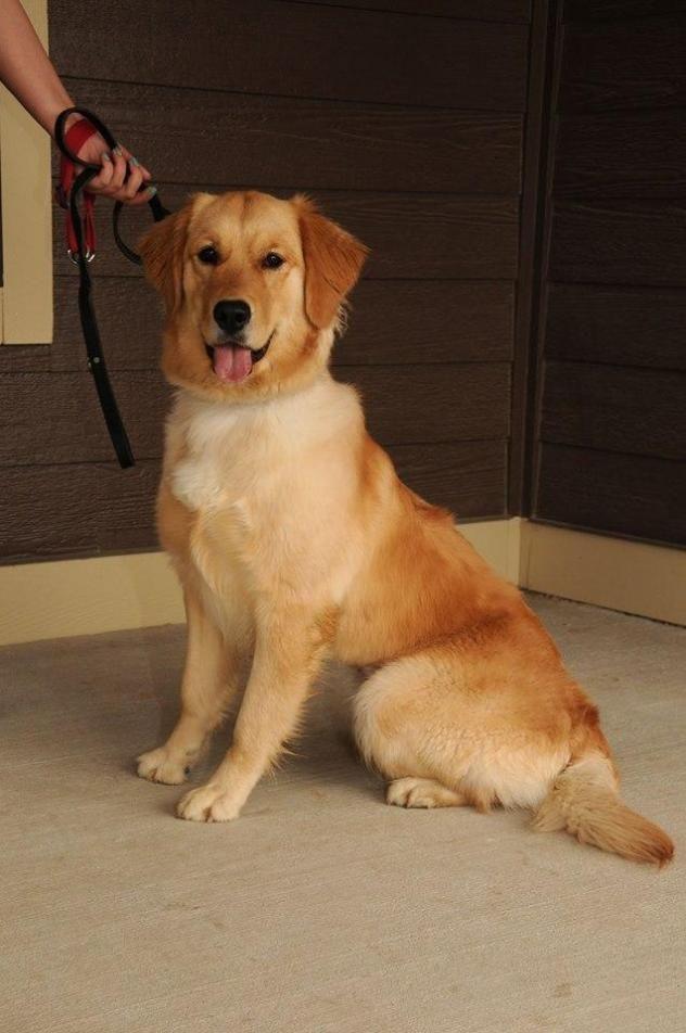 Adopt Ricotta On Retriever Dog Dogs Golden Retriever Adoption