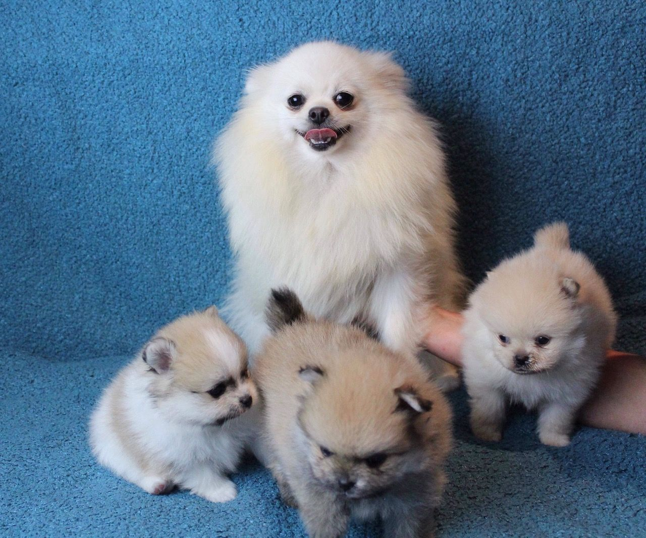 Pin by Barb Z. on Animals Pomeranian puppy for sale