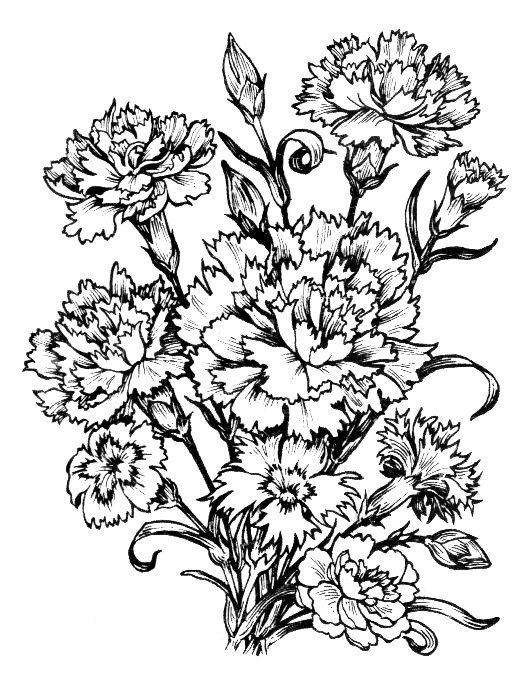 Fghfgh Carnation Drawing Botanical Illustration Black And White