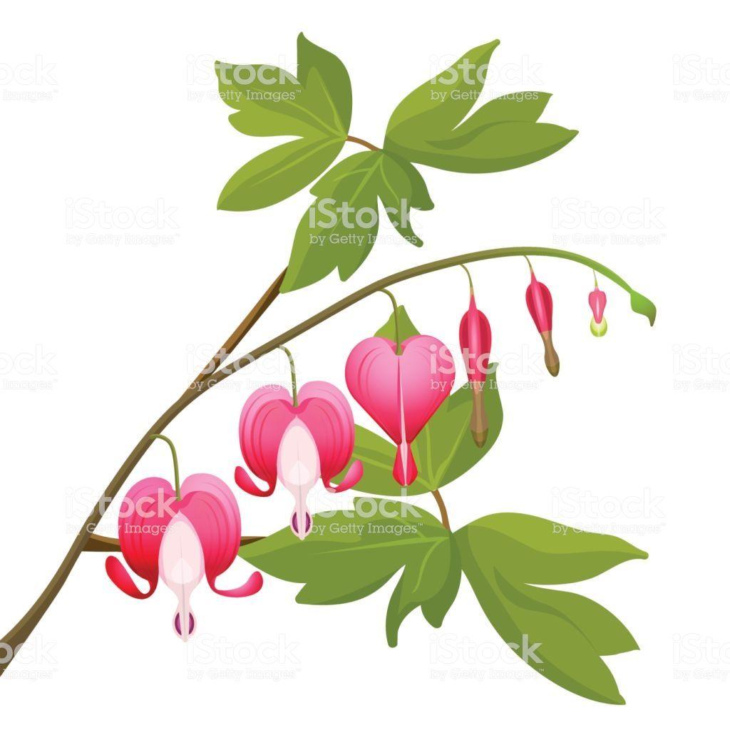 Bleeding Heart Flowers Isolated Realistic Vector Illustration On Bleeding Heart Flower Bleeding Heart Flower Heart