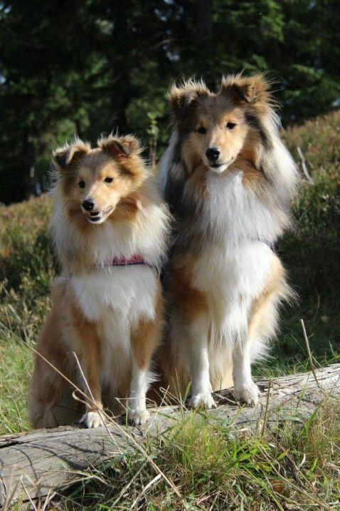 1 Shetland Sheepdog Club Deutschland E V Niedliche Hunde