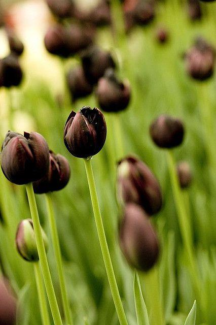 ༺♥༻ Black tulips ༺♥༻