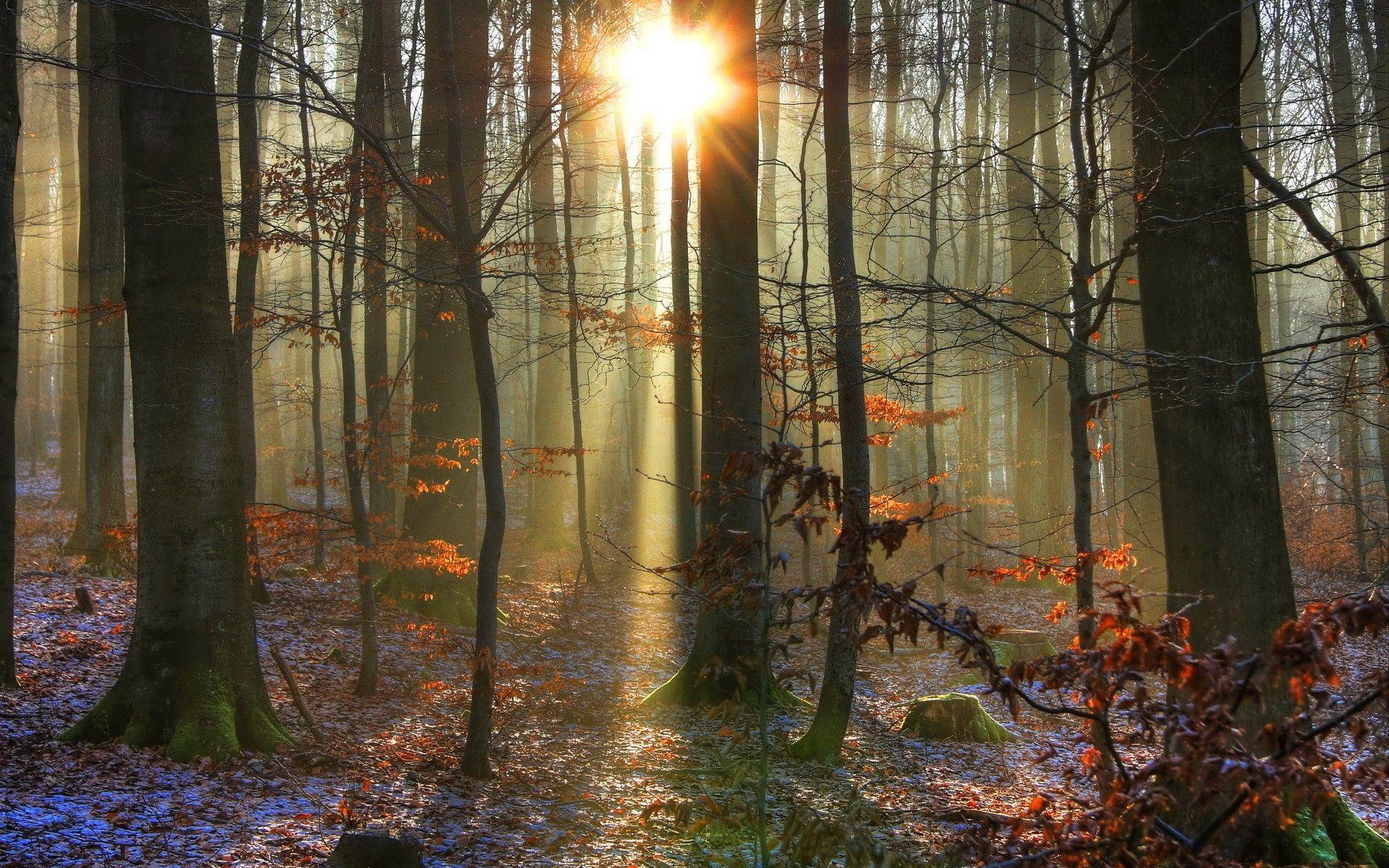 Landscapes Forest Woods Trunks Sunlight Sunrise Sunset Beam Rays Tree Forest Landscape Tree